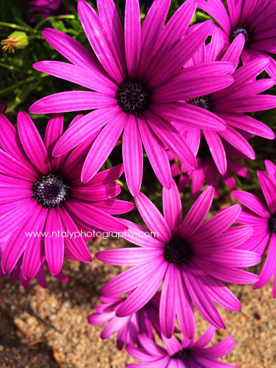 macro photo fleurs corse