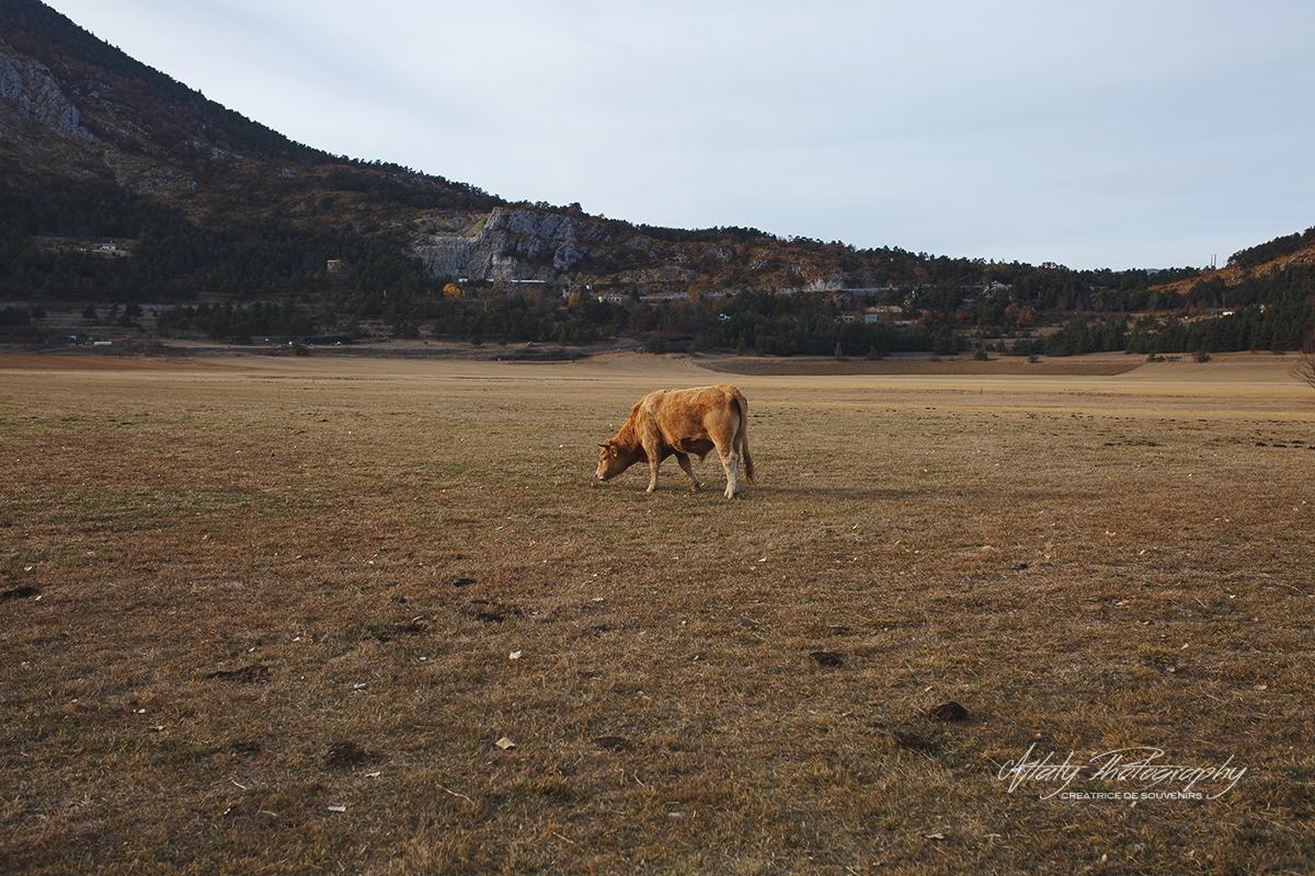 vache campagne