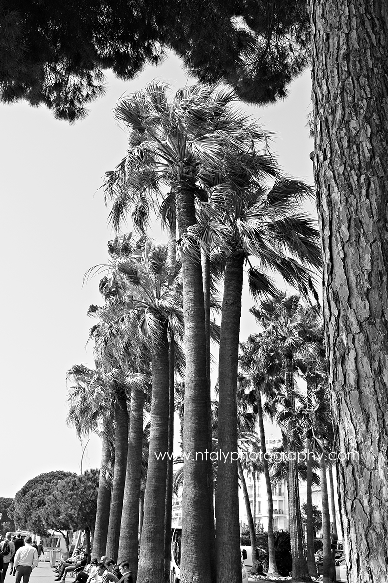 palmiers croisette cannes