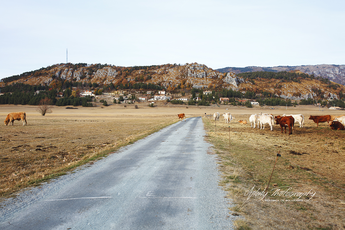 paysage campagne vaches